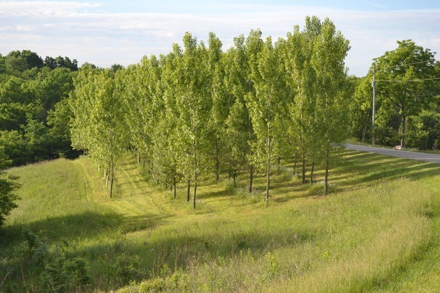 The picture is Poplars planted in 2008 with Miracle Tube Grow Tubes. Got 100% survival and 50-55ft tall trees in under 10 years.