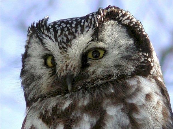 boreal_owl_ann_cook-4.jpg