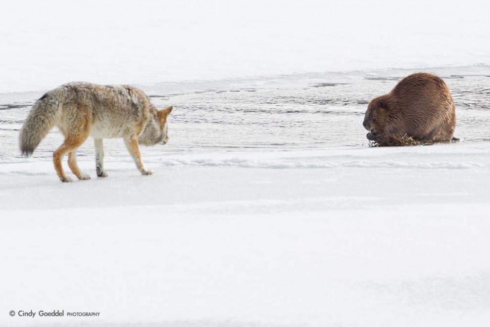 17_Coyote-Stalking-Beaver-In-Snow.jpg