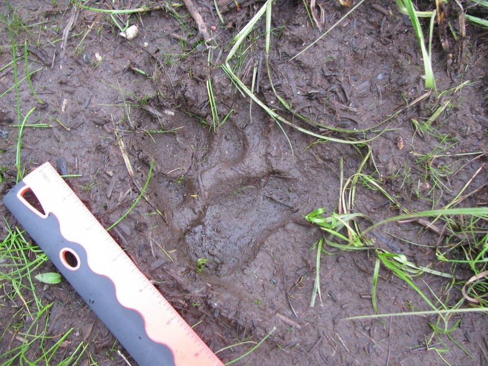 5 inch Wolf track