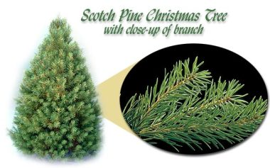 Scotch_Pine_380x237.jpg