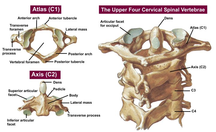 Upper four Cervical view Carlsbad Atlas Chiropractic