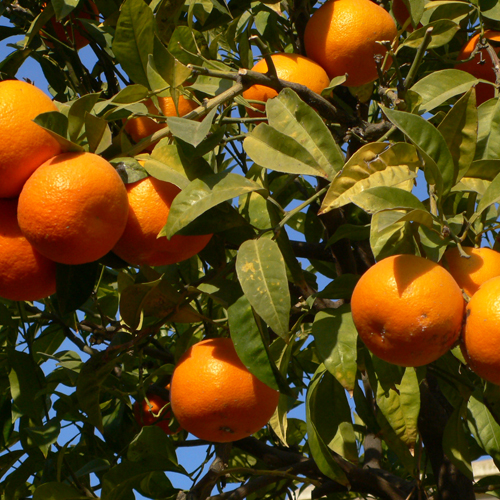 orange500.jpg