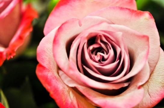 MVW Rose_.jpg