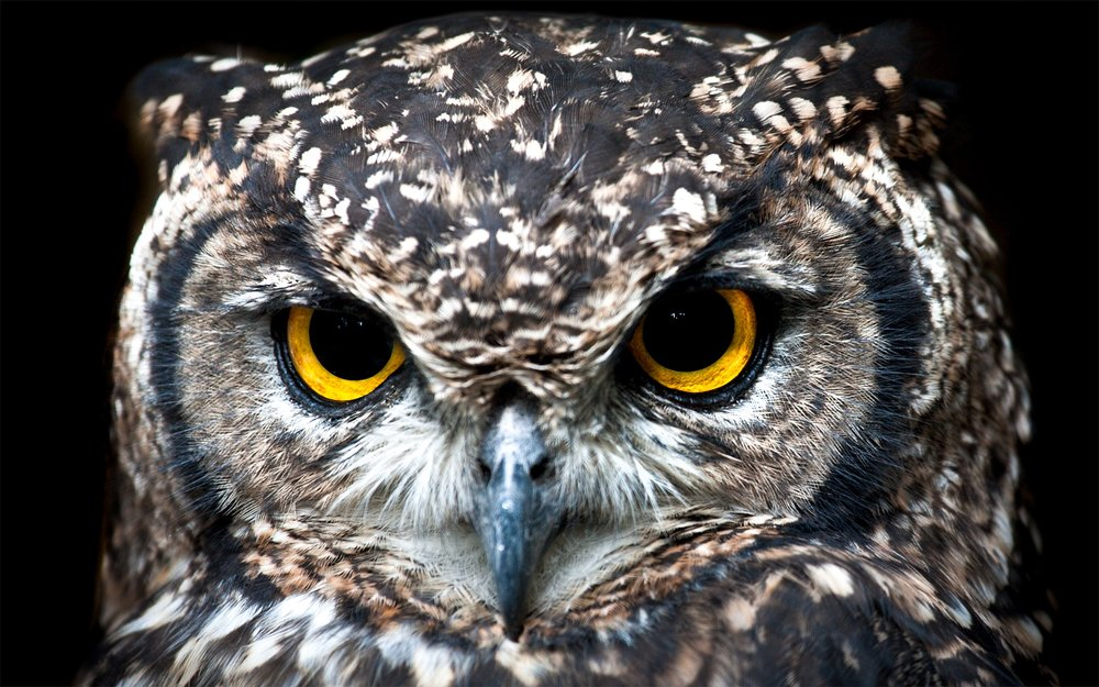 spotted-eagle-owl-3003320_1920.jpg