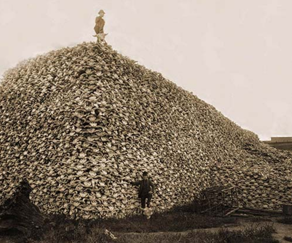 Bison skulls to be used for fertilizer, 1870. Bison were hunted for their skins, with the rest of the animal left behind to decay on the ground.