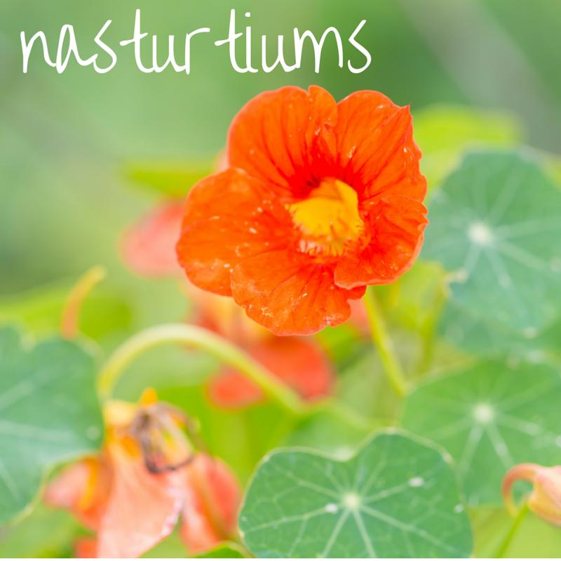 nasturtiums.png