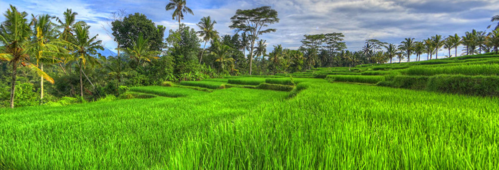 Ubud's Paddy Rice Fields