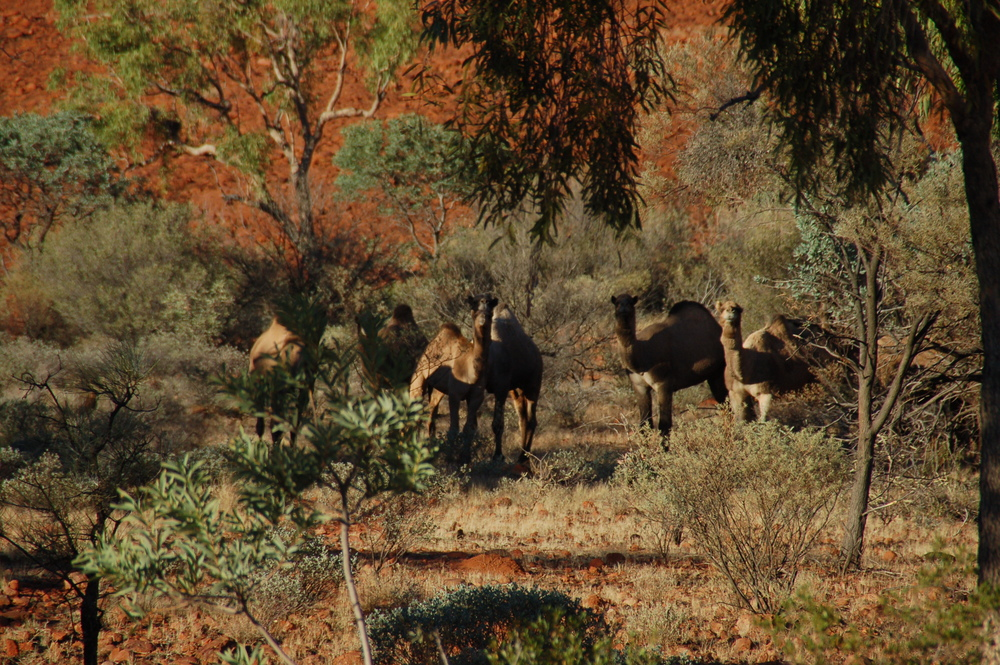 Wild Camels Spotted on our Hike