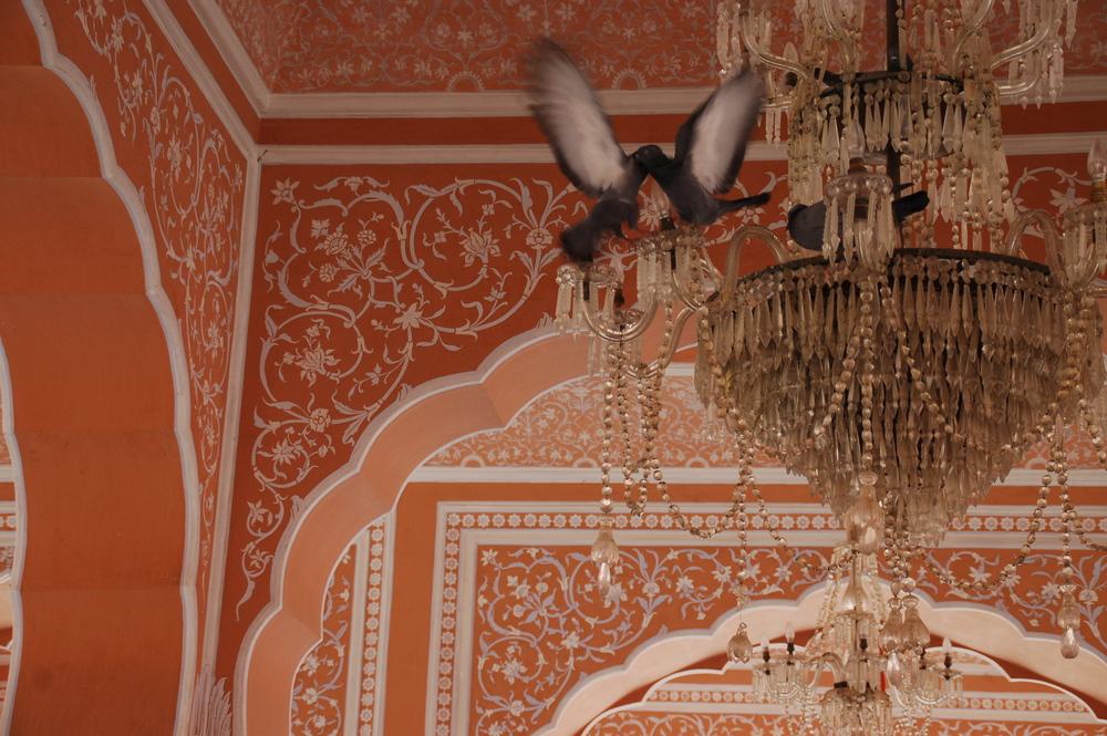Pigeon Showdown