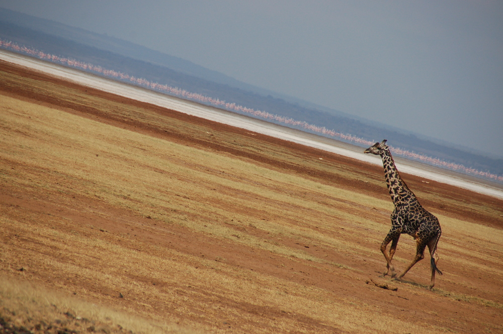 Giraffes Often Like to Mosey