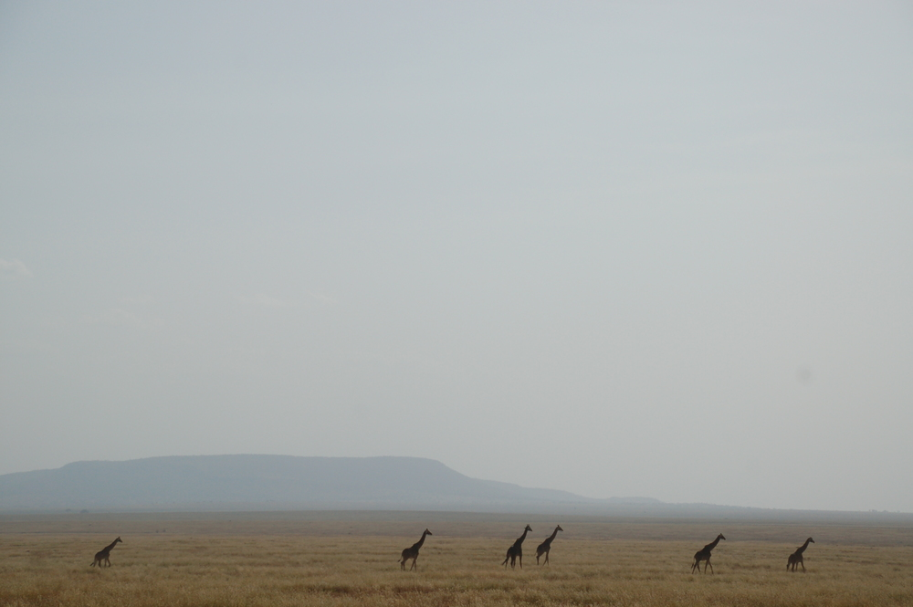 Giraffes and the open land