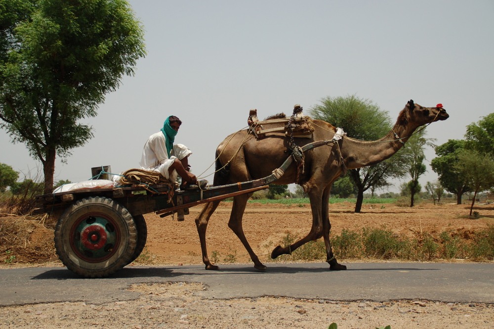 Camel Cart in Rural India