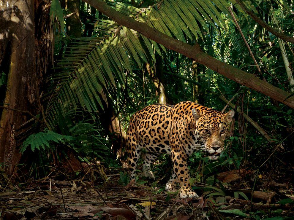 Jaguar en el Yasuni. Para los Huaorani los jaguares son espíritus ancestrales que se comunican con sus shamanes en sueños para indicarles donde en el bosque es buena la caza. Fotografia de Steve Winter, National Geographic