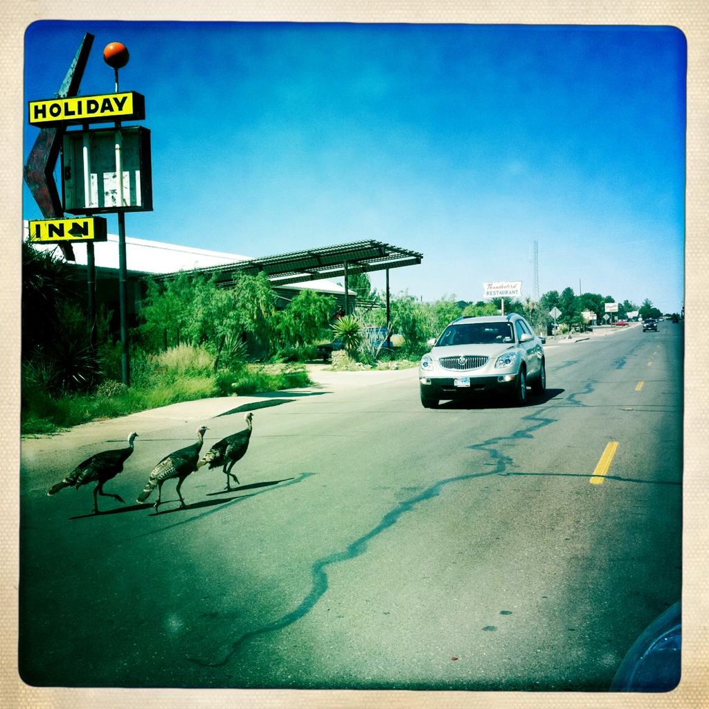 Via  lizlambert :     Wild turkeys causing traffic delay this afternoon in Marfa.