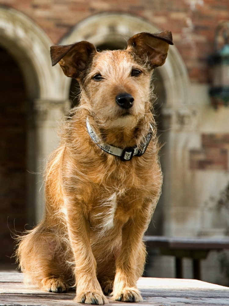 Vianprfreshair: Meet Monty:Yale University Law School is an intense place, and its library is no joke: It has soaring vaulted ceilings, stained-glass windows and giant chandeliers that hang from chains. To help students unwind, the library is offering a rather unusual checkout option: Monty, a Jack Russell-border terrier mix.