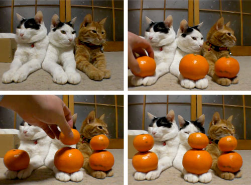 Cats + satsuma mandarins? Compelling …    Click through to watch videos:  Stacking Satsuma Oranges on Cats' Paws | Serious Eats .   (spotted on Twitter, via  Patrick LaForge , @ palafo )