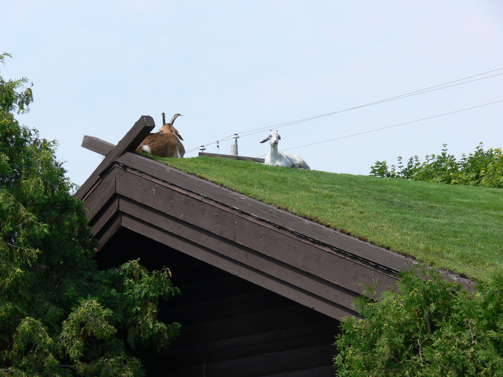 Via urbangreens: modelburnbook: goats on a green roof—i dig this.