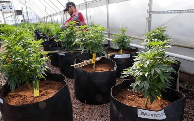 A cannabis farm (photo: AP)