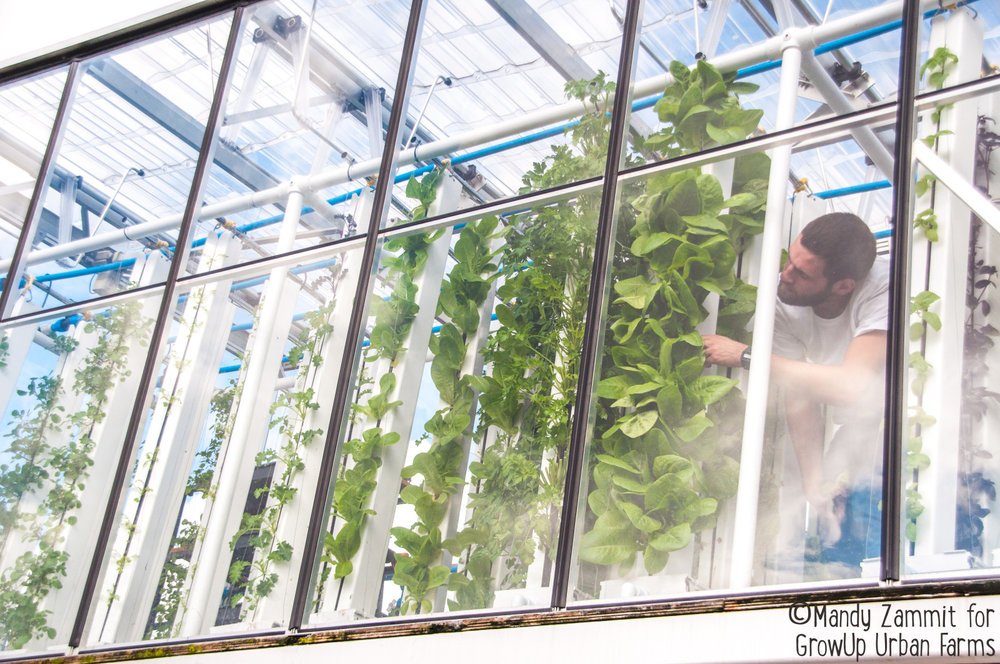 A farmer checking the produce in the GrowUp Urban Farms, London.