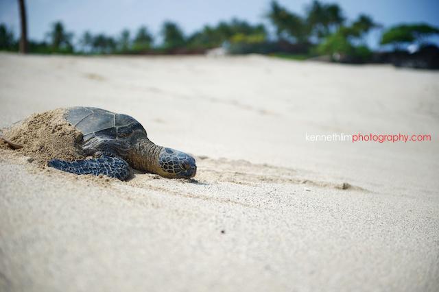 Kona Hawaii US Wedding outdoor beach turtle sand
