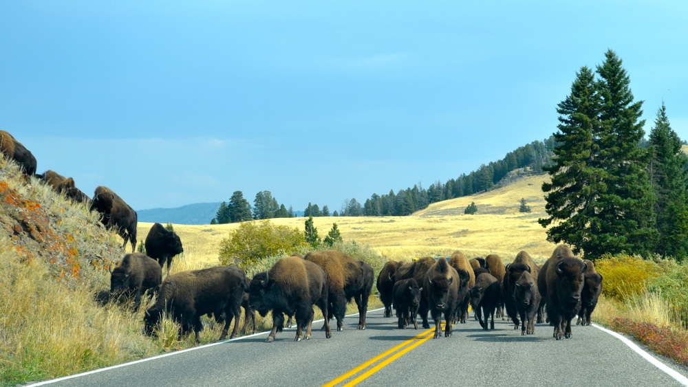 The herd of bison attack!
