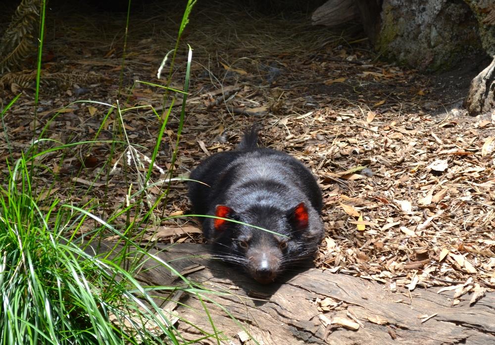 tasmanian-devil-healsville-sanctuary