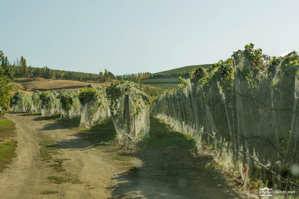 Vineyards netted harvest 2015.jpg