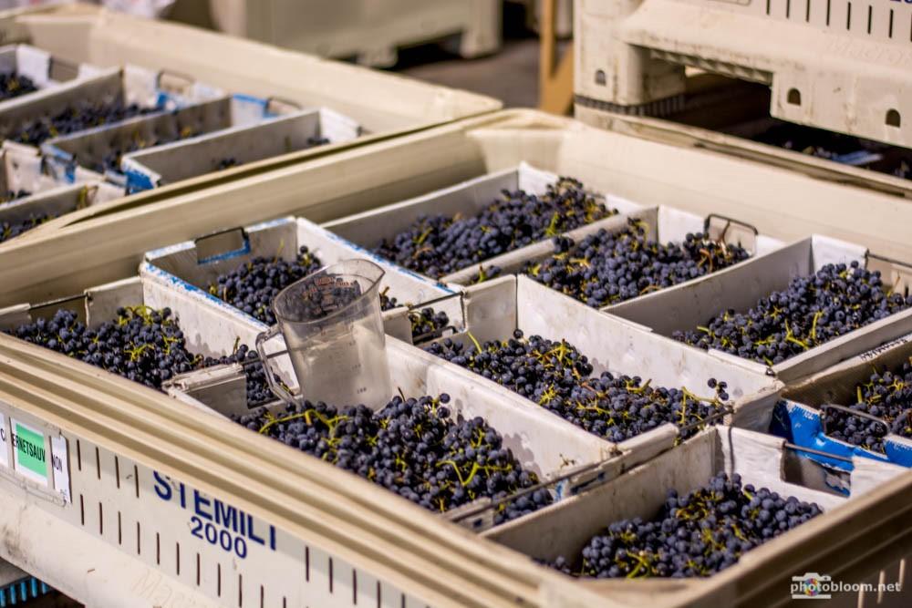 Cabernet Sauvignon grapes harvest 2015.jpg