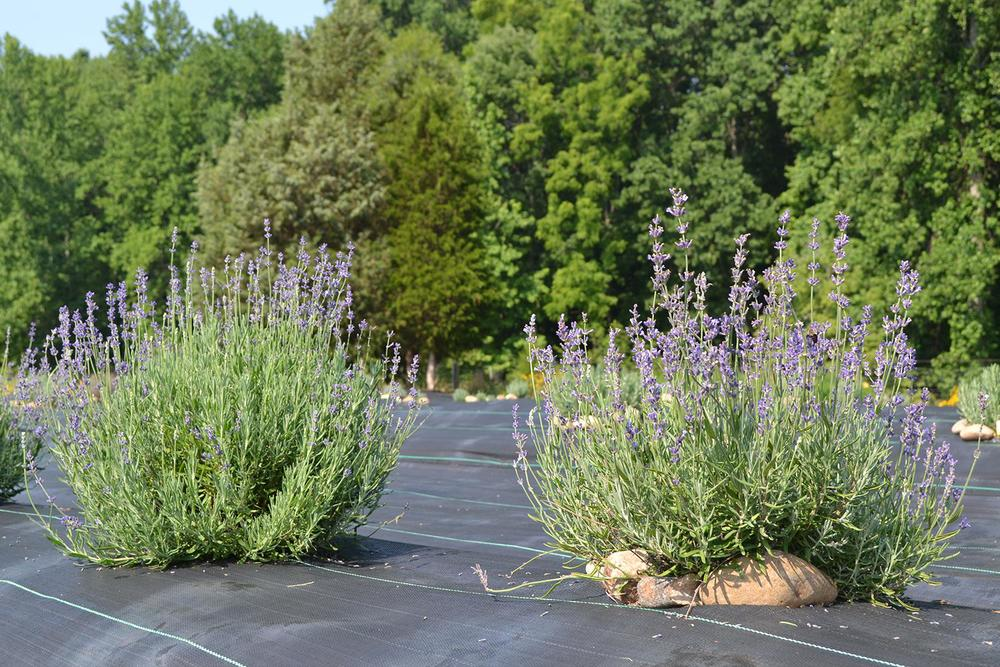 lavender-growing-hauser-creek-farm-in-north-carolina-DSC_0537.jpg