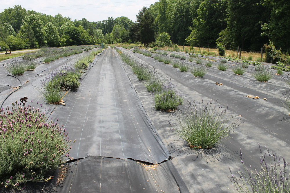 lavender-growing-in-summer-hauser-creek-farm-IMG_1651.jpg