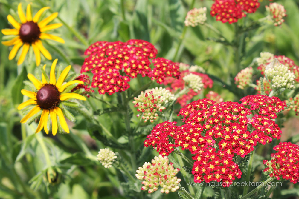 Black-Eyed Susan and Yarrow
