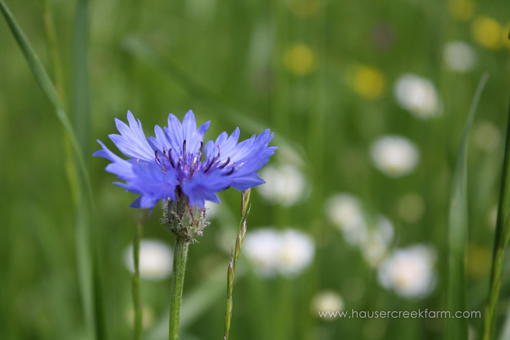 More cornflower in a field