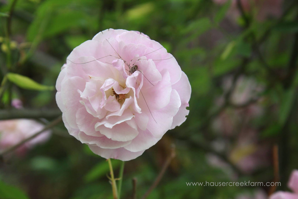 Pale pink rose with granddaddy long leg