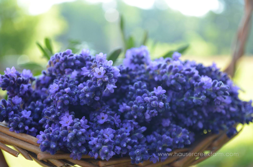 close-up-vivid-fresh-cut-lavender-bouquets-in-basket.jpg