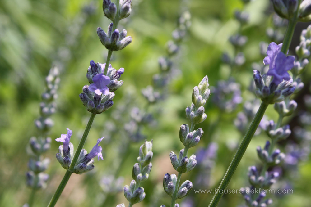 close-up-purple-lavender-blossoms-growing-on-nc-farm-IMG_5351.jpg