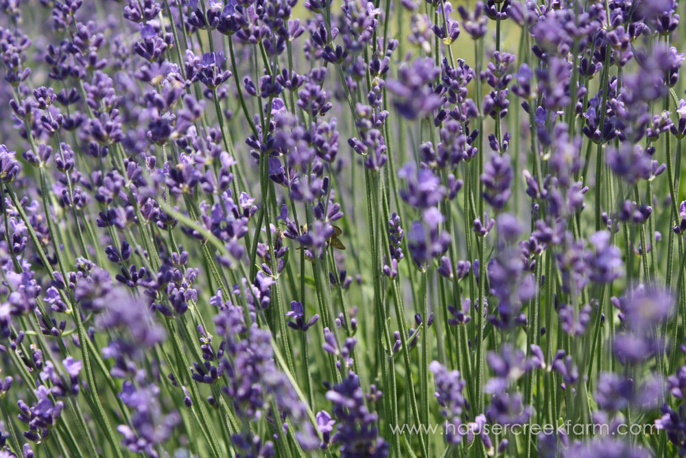 hidcote-lavender-at-hauser-creek-farm-nc-also-seen-on-facebook-035.jpg