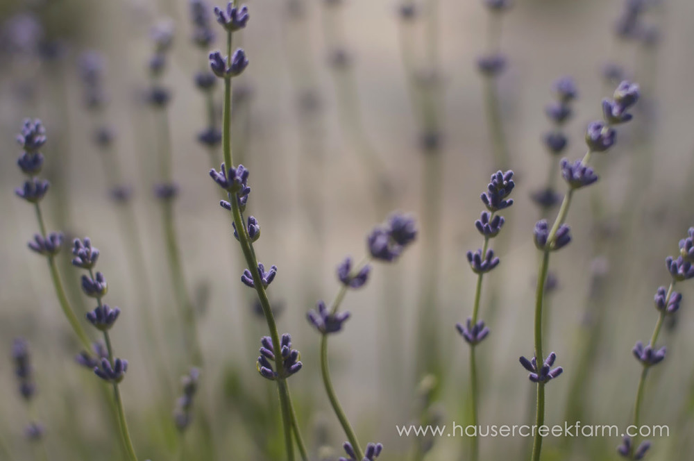 lavender-for-farm-wedding-a-photo-by-ashley-0270.jpg