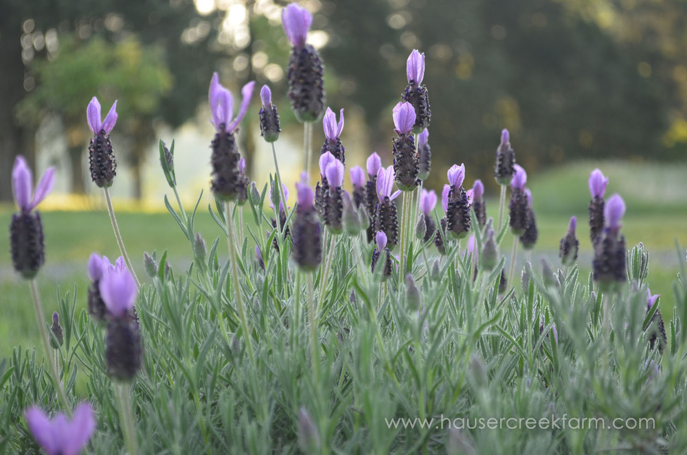 spanish-lavender-blooming-in-field-at-hauser-creek-farm-may-2015-006.jpg