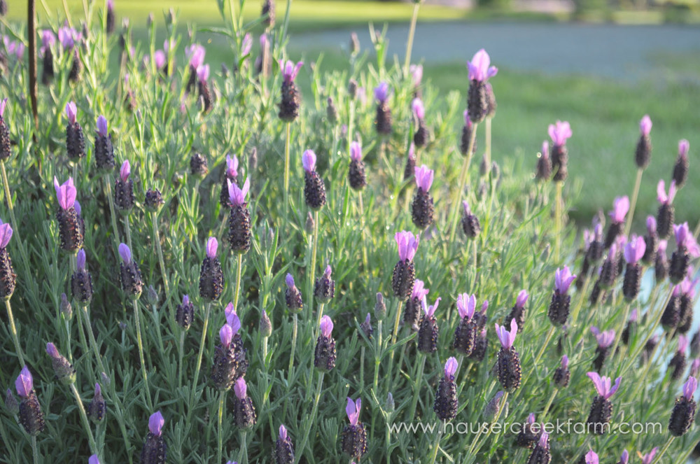 spanish-lavender-blooming-in-field-at-hauser-creek-farm-may-2015-037.jpg