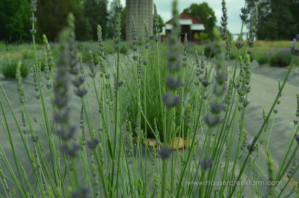 lavender-at-hauser-creek-farm-nc-also-seen-on-facebook-034.jpg