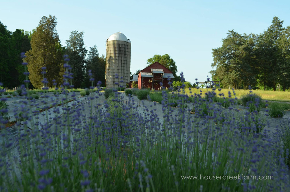 lavender-at-hauser-creek-farm-nc-also-seen-on-facebook-041.jpg
