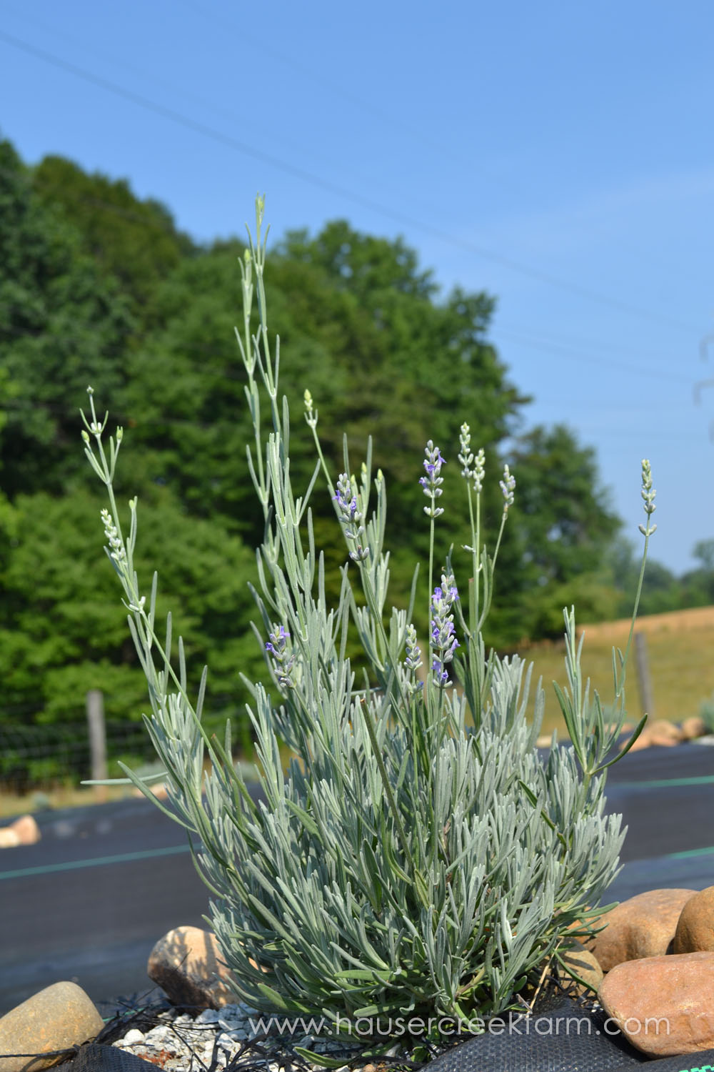 lavender-plant-blooming-in-large-bed-with-rocks-and-green-trees-DSC_0526.jpg