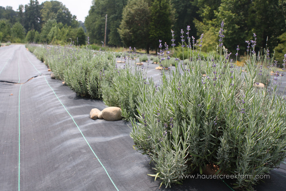 rows-of-blooming-lavender-plants-growing-at-hauser-creek-farm-IMG_0409.jpg