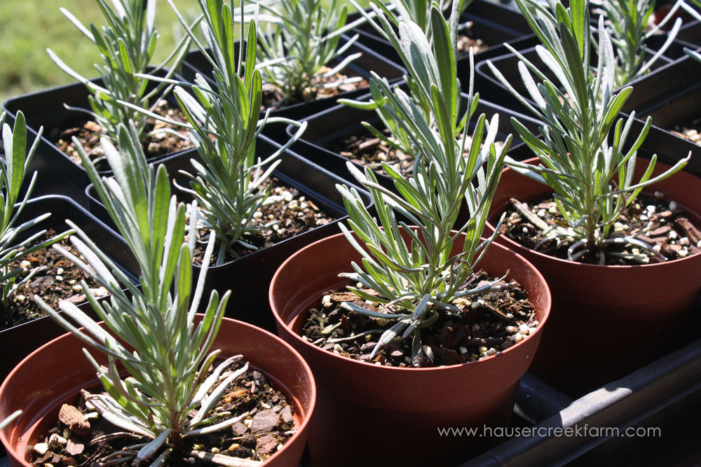 rows-of-young-lavender-plants-growing-in-plastic-pots-at-hauser-creek-farm-IMG_0614.jpg