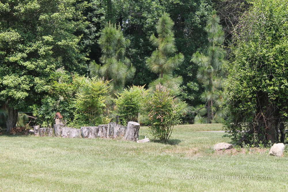 Row of stumps in front of bushes and evergreen trees