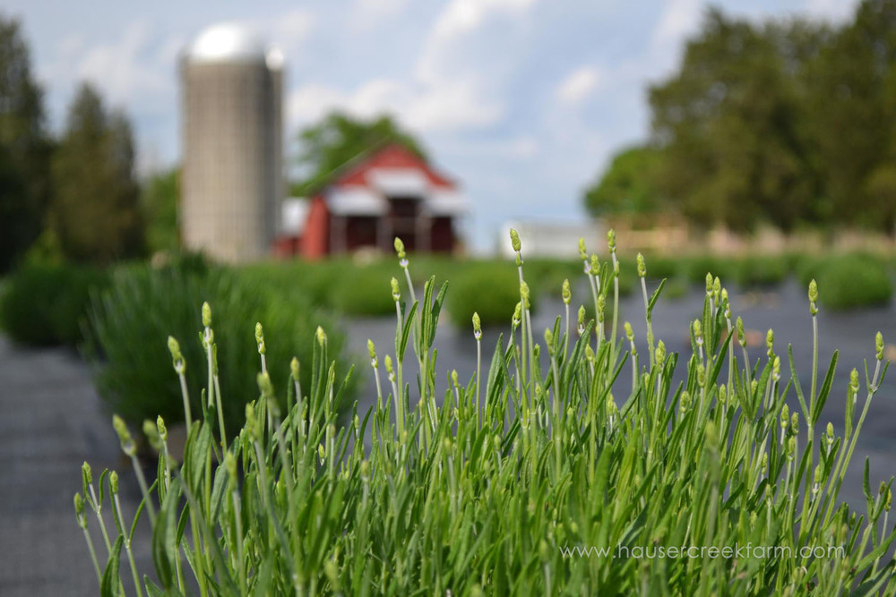lavender-at-hauser-creek-farm-nc-also-seen-on-facebook-036.jpg