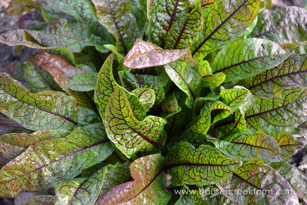 swiss-chard-at-hauser-creek-farm-alethea-segal-003.jpg