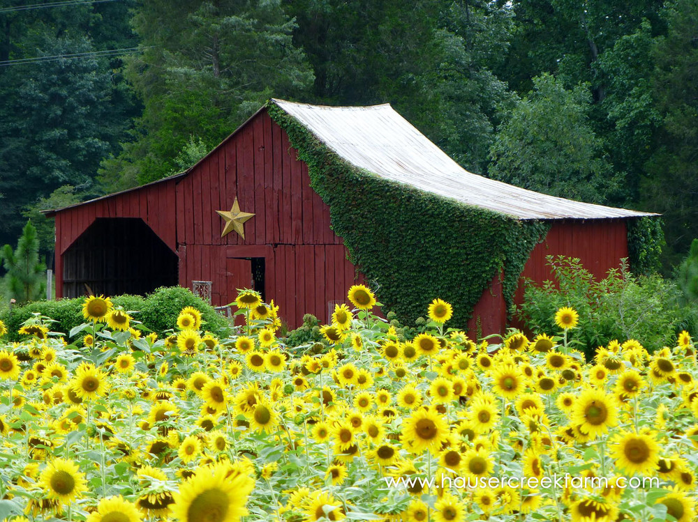 field-of-blooming-sunflowers-at-hauser-creek-farm.jpg