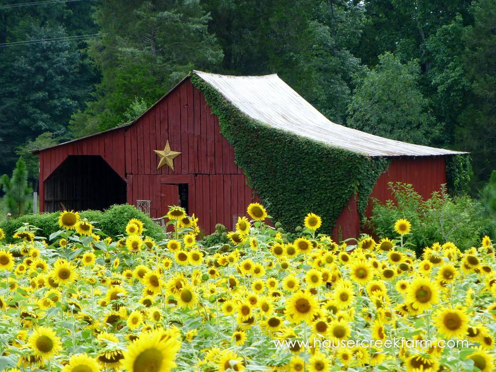field-of-blooming-sunflowers-at-hauser-creek-farm.jpg